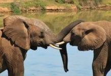 Dwa słonie na sawannie w RPA