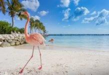 Flaming na karaibskiej wyspie Aruba